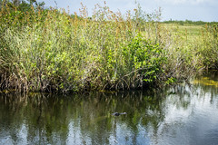 Those That Wait (Los Paseos) Tags: evergladesnationalpark florida aligator swamp