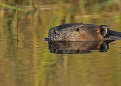 Beaver...#12 (Guy Lichter Photography - 4.2M views Thank you) Tags: beaver canon 5d3 canada manitoba rmnp wildlife animal animals rodent rodents