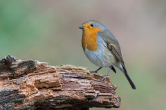 Roodborst-7507 (lucvereecken) Tags: glenn kalmthout bosvogels oktober