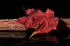 Autumn (Cor Oosterbeek) Tags: seasonsflora smileonsaturday autumn leaf
