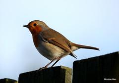 Bobby Robin (mootzie) Tags: robin bird wildlife nature red brown feathers garden aberdeenshire scotland