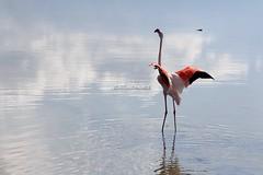 Phoenicopterus roseus (CarloAlessioCozzolino) Tags: quartusantelena sardegna sardinia saline saltworks uccello bird fenicottero flamingo phoenicopterusroseus