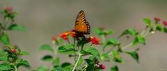 Butterfly (Phet Live) Tags: phet live macro sony a7 elmarit 135mm f28