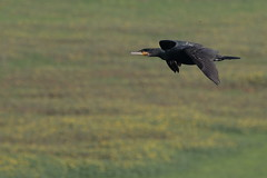 Cormorano (phalacrocorax carbo) (Paolo Bertini) Tags: cormorano cormorant phalacrocorax carbo valle mandriole ravenna delta po birdwatching birding flight volo uccello