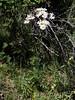Tanacetum corymbosum (L'herbier en photos) Tags: composées asteraceae compositae astéracées tanacetum corymbosum schbip tanaisie corymbe scentless feverfew ontinilla manzanillón albillar villarluengo maestrazgo teruel aragon espagne aragón españa pa1208 ecoid792