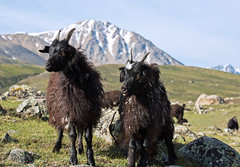 Goats at the park entrance, Altai Tavan Bogd national park, Mongolia (Miche & Jon Rousell) Tags: mongolia altaitavanbogdnationalpark white mountain mountaineering peak trekking camp basecamp mountkhuiten malchin tsagaangol whiteriver river goat