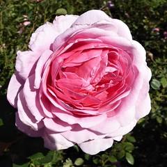 Wheaton, IL, Cantigny Park, Late Pink Rose (Mary Warren 13.1+ Million Views) Tags: wheatonil cantignypark park garden arboretum nature flora plants fall pink macro bloom blossom flower rose