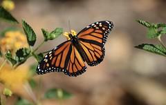 The monarchs are back! (*Explore*) (avilacats) Tags: orange feeding avilabeach earlyafternoon monarchbutterfly