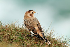 IMG_3038 (monika.carrie) Tags: monikacarrie wildlife scotland isleoflewis snowbunting