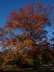 Pin Oak (Dendroica cerulea) Tags: pinoak quercuspalustris quercus fagaceae fagales tree oak red plant autumn donaldsonpark highlandpark middlesexcounty nj newjersey