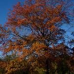 Pin Oak thumbnail