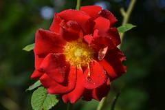 DSC_1845 (griecocathy) Tags: macro rose tiges feuille fleur coeur gouttelette eau rouge jaune vert