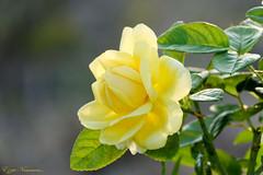 Rose.... d'automne (Ezzo33) Tags: france gironde nouvelleaquitaine bordeaux ezzo33 nammour ezzat sony rx10m3 parc jardin fleur fleurs flower flowers rose roses