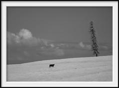 that tree (Andrew C Wallace) Tags: cow tree ir infrared farm blackandwhite bw thephotontrap microfourthirds m43 olympusomdem5mk2 boneoroad flinders victoria australia