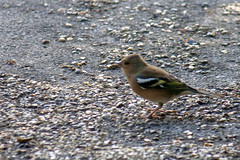 Juvenile Goldfinch (Rich Jacques) Tags: goldfinch cardueliscarduelis bird wildlife nature sheffield botanicalgardens september 2018 canon eos450d naturephotography