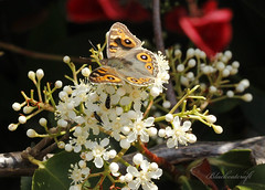 Meadow Argus Butterfly - Junonia villida (blackcatcraft) Tags: insects garden flower macro fly butterfly meadowargus junoniavillida