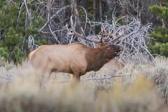Bull Elk_7793 (Hyer Photo) Tags: elk rut autumn wildlife wilderness fantasticwildlife gtnp tetonsyellowstone grandtetonnationalpark