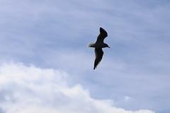 mouette9 (marcel.photo) Tags: möwe mouette vogel bird vevey schweiz switzerland genfers lac lémon