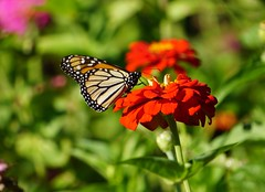 Another Monarch (pam's pics-) Tags: butterfly butterflies monarchbutterfly migration zinnias flowers floral monarch orange flora pamspics pammorris sonya6000 garden yard migrating ks kansas us usa america midwest washingtonkansas