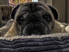 Rain's last day (Scott Duffus) Tags: pug pet dog