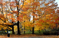 trees (greenelent) Tags: prospectpark brooklyn fall autumn leaves trees nature 365 photoaday
