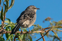Mockingbird Mimic (MelRoseJ) Tags: lodi california unitedstates us sonyalpha sony sonyilca77m2 a77ii alpha sal70200g nature northerncalifornia birds mockingbird