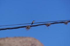 7-004 Sneeuwbuikamazilia (Gé Nielissen) Tags: 2018 peru heilige vallei kolibrie