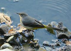 Grey Wagtail ---- Motacilla cinerea (creaturesnapper) Tags: europe uk maplelodge birds waterbirds wagtails greywagtail motacillacinerea