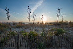 NC2_2018_Searing_Brothers 40th_082 (jtleagles) Tags: yucca plant dune yuccaplant dunes fence beach sand rehobothbeach ocean boardwalk seascape