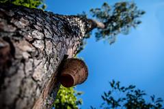 Pin landes (Aline Sprauel Photography (AS photos)) Tags: gemmage pins landes alinesprauel canon photographelandes