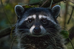 The Encounter (Selkii's Photos) Tags: california canon100400mm canon7dmarkii goldengatepark procyonlotor raccoon sanfrancisco stowlake unitedstates commonraccoon northernraccoon northamericanraccoon