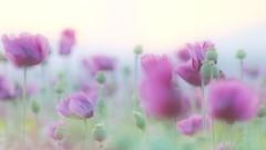 Poppies (endresárvári) Tags: poppy poppies hungary budapest nature pastel poppyfield canon