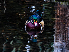 The Wood Duck (Steve Taylor (Photography)) Tags: woodduck bird duck blue green mauve purple brown white lake newzealand nz southisland canterbury christchurch tree trunk ripple reflection winter