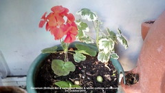 Geranium (Brilliant red & variegated Green & white) cuttings on balcony 3rd October 2018 (D@viD_2.011) Tags: geranium brilliant red variegated green white cuttings balcony 3rd october 2018
