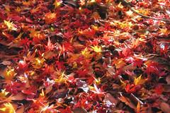 On Top Of Each Other (arbivi) Tags: autumn fall foliage koyo momiji japanese maple tree red orange bridge koishikawakorakuen garden iidabashi tokyo japan canon 60d tamron arbivi raymondviloria
