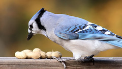 Picking a Peanut (blazer8696) Tags: 2018 brookfield ct connecticut ecw obtusehill t2018 tabledeck usa unitedstates blja blue bluejay corvidae cristata cyacri cyanocitta cyanocittacristata img1540 jay passeriformes