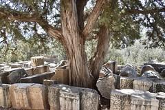 fullsizeoutput_8c74 (lnewman333) Tags: delphi greece europe sanctuaryofathenapronaia athena goddess greekmythology archaeologicalsite ancient historic ruins archaeology tree mountparnassus 4thcenturybc delphoi