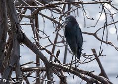 Little Blue Heron (Tony CC Gray) Tags: littleblueheron curryhammockstatepark crawlkey birds tonygray canon floridakeys