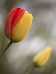 Hasard de la génétique *----+---° (Titole) Tags: tulip tulipe red yellow titole nicolefaton shallowdof gamesweep gamesweepwinner 15challengeswinner