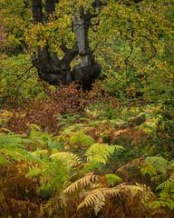 Burnham Beeches - 3 (J R Oliver) Tags: beech buckinghamshire burnhambeeches cityoflondon england nationalnaturereserve pollard pollards sssi tree trees wood
