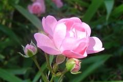 Rose (Gartenzauber) Tags: ngc npc rosesforeveryone floralfantasy thebestofmimamorsgroups photosandcalendar