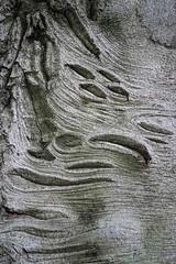 Bark Patterns (Broot Thanks for 1 million views!) Tags: mountauburncemetery october cambridge massachusetts fagussylvatica beech bark pattern tree europeanbeech