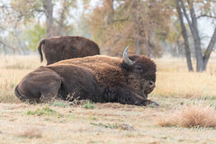 Big bison bull rolls around in the dirt