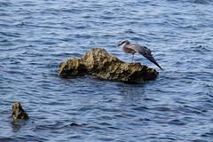 09072018-DSCF8889-2 (Ringela) Tags: medelhavstrut yellowlegged gull larus michahellis goéland leucophée sainthonorat juli 2018 france animals birds