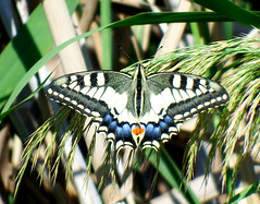 Papilio machaon (cawthraw) Tags: papiliomachaon swallowtail