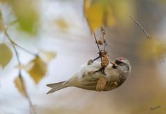 It's autumn (MatsOnni) Tags: urpiainen acanthisflammea commonredpoll birds linnut syksy autumn mattisaranpää
