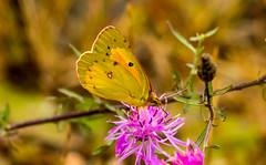 7K8A7564 (rpealit) Tags: scenery wildlife nature weldon brook management area orange sulphur butterfly