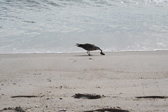 HungaryBird1 (PurpleZedCreations) Tags: beach grasses seagulls sand flags ice shell shells water fountain waterfountain feather bird birds grass landscape waves sky blue