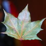 Maple Leaf thumbnail