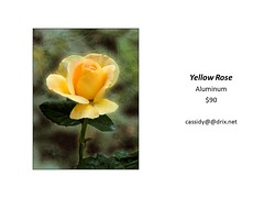 "Yellow Rose • <a style=""font-size:0.8em;"" href=""https://www.flickr.com/photos/124378531@N04/45312919312/"" target=""_blank"">View on Flickr</a>"